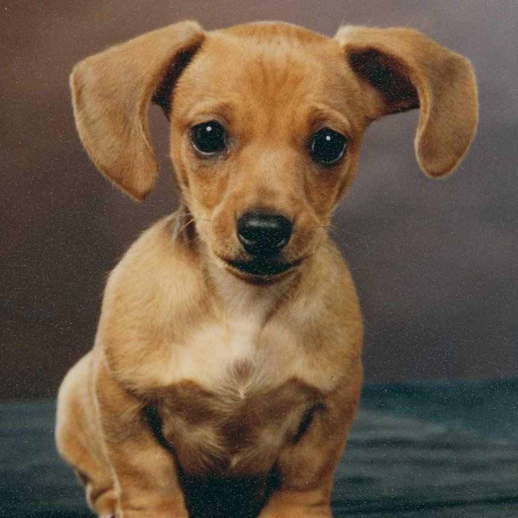 Dachshund information facts