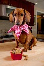 Dachshund and treats