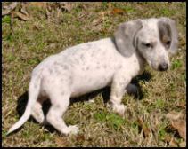Blue and Tan Piebald Dachshund