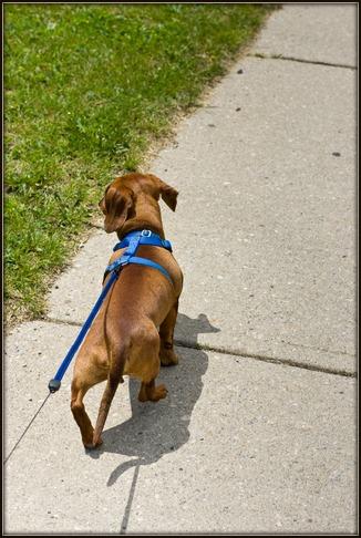 Dachshund walking on harness