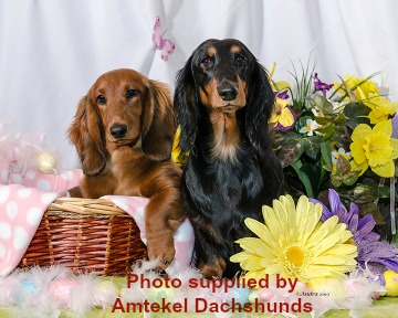 Two Standard Longhaired Dachshunds