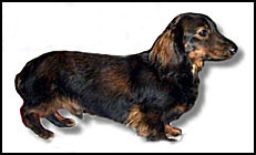 Long Haired Red Sable Dachshund
