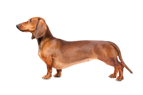 Dachshund Breed Standa...