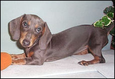 Blue and Tan Dachshund