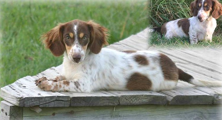 Piebald dachshund also sable and brindle coloured dachshunds