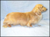 Cream Long Haired Dachshund