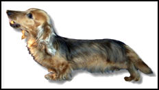 Long Haired Cream Sable Dachshund