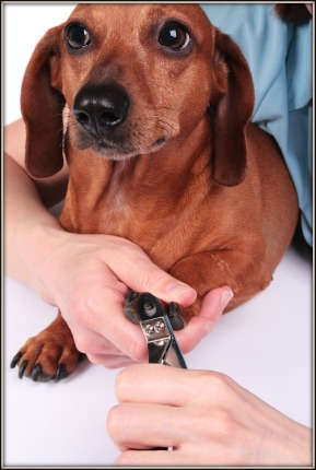 Dog grooming tips and advice for dog owners it is advisable to get your vet to show you how to clip the nails or perhaps get a groomer to do the trimming winobraniefo Gallery