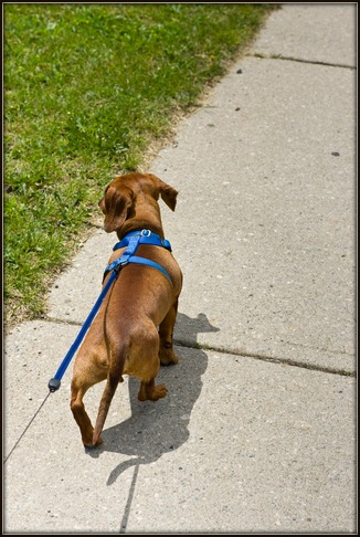 Dachshund walking on harness