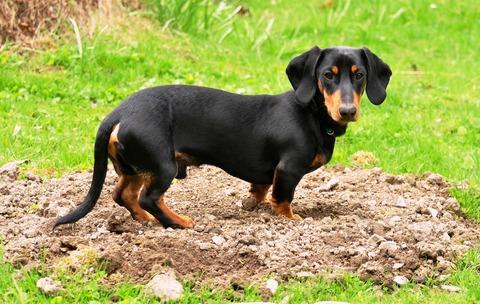 Dachshund Digging
