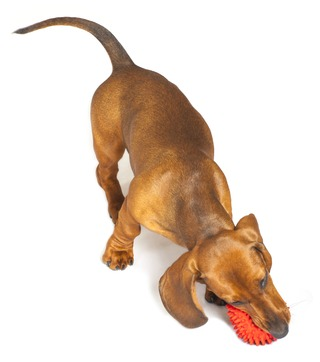 Dachshund with ball