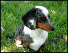 Double Dapple Dachshund
