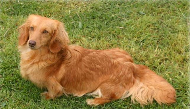 Long Haired From Grendox Dachshunds Cream