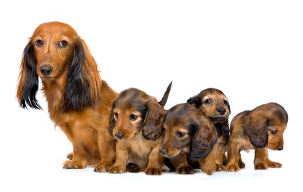 Longhaired Dachshund litter
