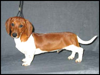 ... piebald gene.Pictured is a smart piebald smooth dachshund from