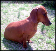 Red Smooth Dachshund