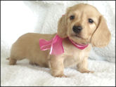 English Cream Puppy