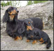 Size comparison of the Standard and Miniature Dachshund