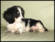 Black and Cream Piebald Dachshund